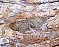 (1828) Satyr Pug (Eupithecia satyrata) (34599965460).jpg