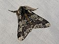 (1930) Oak Beauty (Biston strataria) (4441576121).jpg