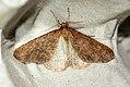 (1935) Mottled Umber (Erannis defoliaria) (4034441916).jpg