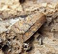 (2262) The Brick (Agrochola circellaris) (15435997427).jpg