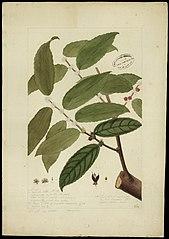 (Casearia javitensis)