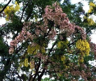 Graft-chimaera - The small tree +Laburnocytisus 'Adamii' is a spectacular example of a graft-chimaera