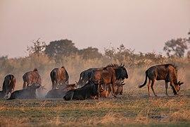 Ñus azules (Connochaetes taurinus), delta del Okavango, Botsuana, 2018-07-31, DD 19.jpg