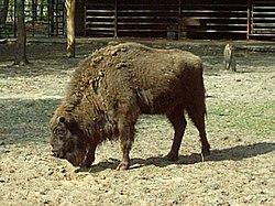 http://upload.wikimedia.org/wikipedia/commons/thumb/5/5b/%C5%BBubr_Bison_bonasus.jpg/250px-%C5%BBubr_Bison_bonasus.jpg