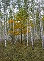 Березовая роща - Birch forest - panoramio.jpg