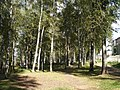 Берёзовая роща по улице Беленогова, Кострома.jpg