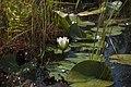 Бондарівське болото. Латаття.jpg