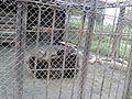 Бурый медведь (Penza Zoo 2016).jpg
