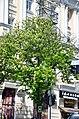 Вікові липи, ясени та каштани по вулиці Володимирській у Києві. Фото 4.jpg