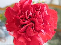Гвоздика en face (Dianthus caryophyllus).jpg