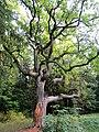 Дуб в парке Сергиевка.jpg