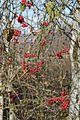 Лианы сассапариля зимой - panoramio.jpg