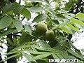 Манчжурский орех - panoramio.jpg
