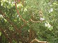 Никитский ботанический сад 2010 06.jpg