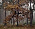 Осіннй дуб.jpg