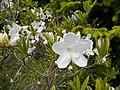 Рододендрон Шлиппенбаха, белоцветковая форма (3).jpg