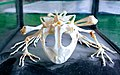Скелет жаби.jpg