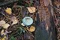 Строфарія синьо–зелена IMG 3816.jpg