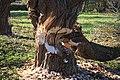 Царникава (Латвия) Убей бобра - спаси дерево^ (фрагмент) - panoramio.jpg
