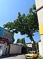 Шулявський дуб DSC 0003 stitch.jpg
