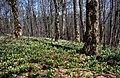 Яворовий ліс - panoramio.jpg