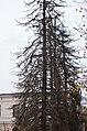 Ялина колюча по вулиці Шевченка, 30 у Кам'янець-Подільському. Фото 2.jpg