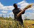 حصد القمح.jpg