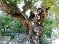 درخت کهن.jpg
