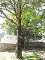شجرة قديمة في قرية جواهرده شمال ايران - رامسر من عدسة عقيل سالم - panoramio.jpg