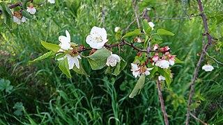Apricot Blossom in Behbahan, Iran