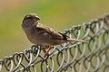 வீட்டுச் சிட்டுக்குருவி - House Sparrow female - Passer domesticus.jpg