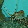 リョウマエビ(龍馬海老、Longarm spiny lobster, Japanese furrow lobster) Justitia japonica.jpg