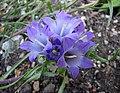 刺萼参屬 Edraianthus tenuifolius -維也納大學植物園 Vienna University Botanical Garden- (28646803805).jpg