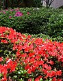前山公園杜鵑花 Azalea Flowers at Qianshan Park - panoramio.jpg