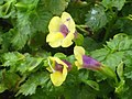 夏菫-黃月 Torenia fournieri 'Yellow Moon' -香港公園 Hong Kong Park- (26737952469).jpg
