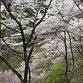 弘川寺の桜 Cherry blossoms at Hirokawa-dera 2012.4.13 - panoramio.jpg