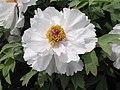 日本牡丹-五大洲 Paeonia suffruticosa Godaisyu -洛陽西苑公園 Luoyang, China- (12427945233).jpg