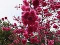 櫻花 Cherry Blossoms - panoramio.jpg
