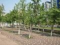 江滨西路观景带上的树木 - panoramio.jpg