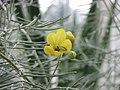 澳洲銀葉決明 Senna artemisioides -英格蘭 Wisley Gardens, England- (9213324695).jpg