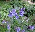 紫花貓薄荷 Nepeta faassenii Walker's Low -比利時 Leuven Botanical Garden, Belgium- (9198148011).jpg