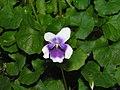 腎葉堇菜 Viola hederacea -香港青松觀 Tuen Mun, Hong Kong- (9252463777).jpg