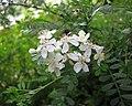 華西小石積 Osteomeles schweriniae -比利時國家植物園 Belgium National Botanic Garden- (9237483897).jpg