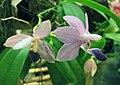蝴蝶蘭 Doritaenopsis Purple Martin -香港沙田洋蘭展 Shatin Orchid Show, Hong Kong- (31448307136).jpg