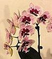 蝴蝶蘭 Phalaenopsis Lioulin Hop Lip 'Charming Butterfly' -台南國際蘭展 Taiwan International Orchid Show- (39129455080).jpg
