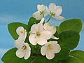 非洲紫羅蘭 Saintpaulia Mac's Misty Meadow Sport -香港北區花鳥蟲魚展 North District Flower Show, Hong Kong- (31845236136).jpg
