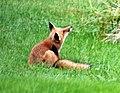 009 Red Fox (8057818192).jpg