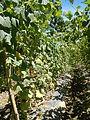0885jfSan Ildefonso Remedios Plants Royal Skies Roadsfvf 06.JPG