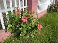 0906jfCento Escolar University Facade Fences Hibiscus rosa sinensis Malolosfvf 25.jpg