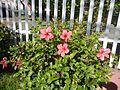 0931jfHibiscus rosa sinensis Linn White Pinkfvf 18.jpg